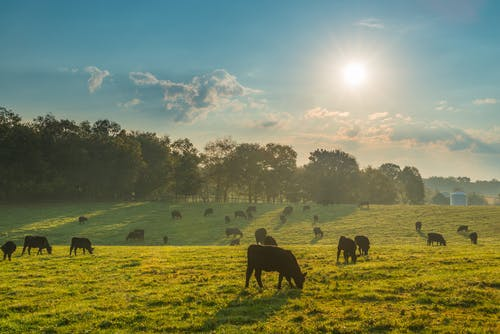 Image of cows on a dairy farm enjoying the sunshine
