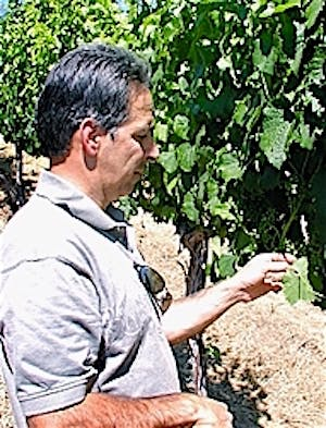 Photo of Cinnabar's head winemaker, George Troquato, walking through one Cinnabar's wine vineyards