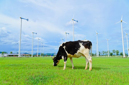 Photo of a cow grazing in a field with windmills in the background