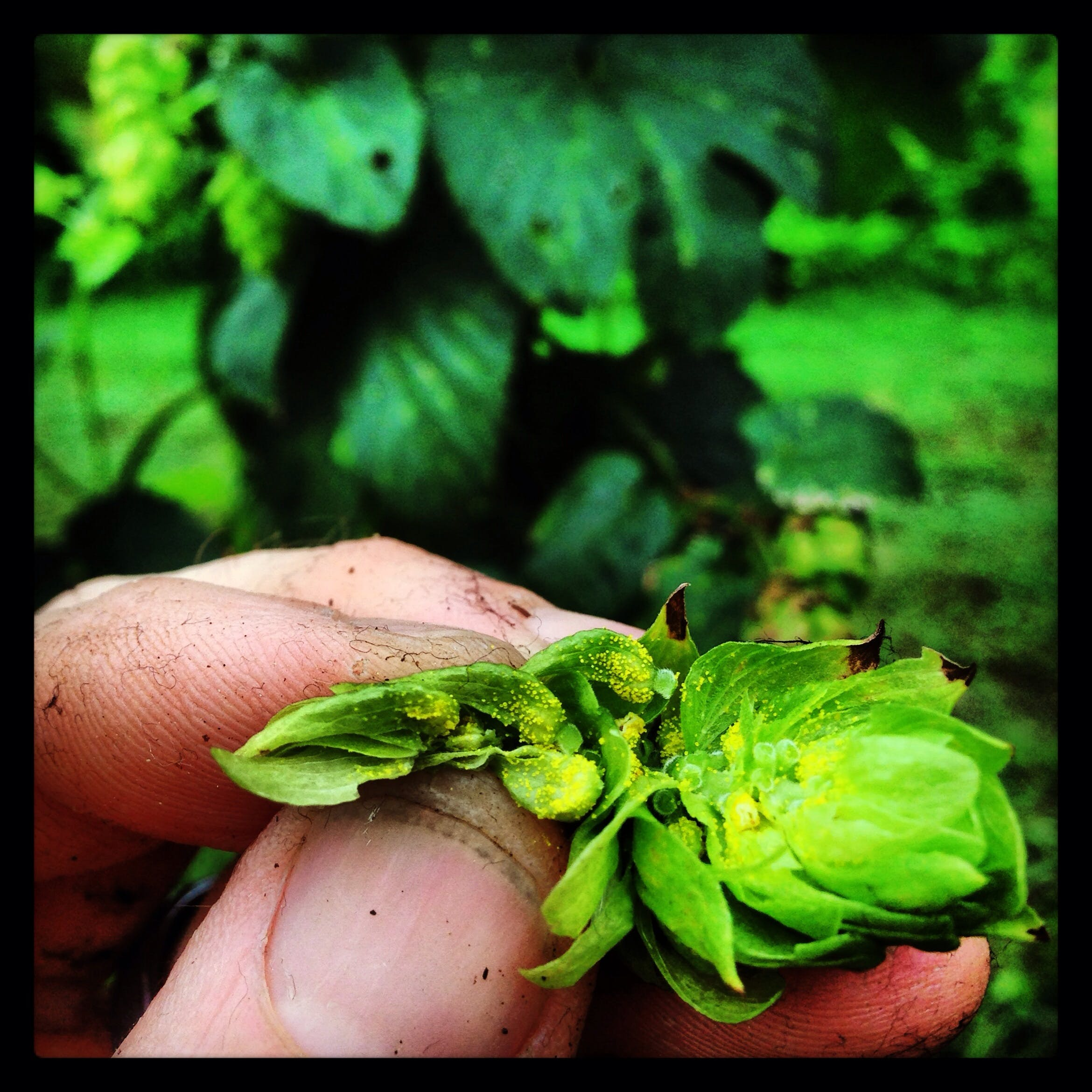 Hops Hop sold by Farm Boy Brewery