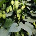 Cascade - Hop sold by Alpha Hop Sales